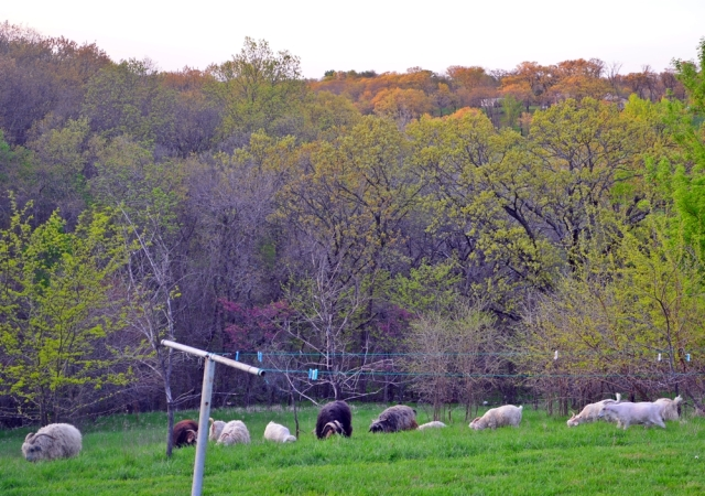 evening goats on back hill
